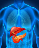 Pancreas cancer in human body. Illustration Royalty Free Stock Photos