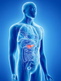 The pancreas Stock Photography