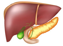 Pancreas e fegato Fotografia Stock