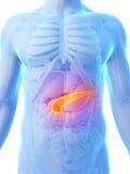 Pancreas evidenziato Fotografie Stock Libere da Diritti