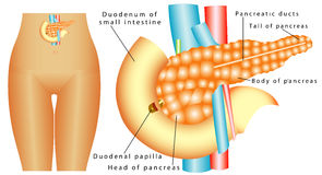 Pancreas Stock Photo