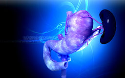 Pancreas and spleen. Digital illustration of  pancreas and spleen  in colour  background Stock Photography