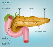 Pancreas Vector Image Stock Images