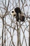 Panda熊猫 arkivbild