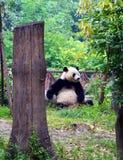 Panda à Chengdu sicuan Photos libres de droits