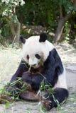 Panda énorme Photos libres de droits