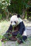 Panda énorme Photo libre de droits