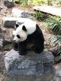 Panda éveillé à Calgary image stock