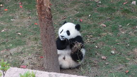 Panda μωρών που τρώει τα φύλλα μπαμπού Sichuan Panda στην επιφύλαξη Στοκ Εικόνες