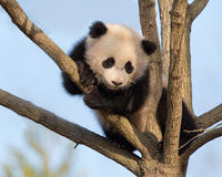Panda μωρών στο δέντρο Στοκ φωτογραφία με δικαίωμα ελεύθερης χρήσης