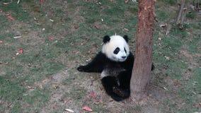 Panda μωρών Sichuan Panda στην επιφύλαξη Στοκ φωτογραφίες με δικαίωμα ελεύθερης χρήσης