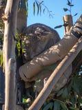 Panda που κοιμάται σε ένα δέντρο στοκ φωτογραφία με δικαίωμα ελεύθερης χρήσης