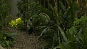 Panda που περιπλανιέται προς τα εμπρός μέσω των θάμνων απόθεμα βίντεο