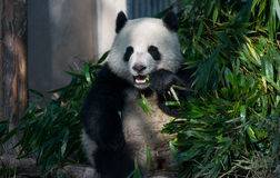 Panda σε Chengdu, Sichuan, Κίνα Στοκ εικόνα με δικαίωμα ελεύθερης χρήσης