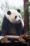 panda της Κίνας Στοκ φωτογραφία με δικαίωμα ελεύθερης χρήσης
