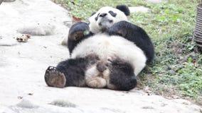 Panda 'Dai Li 'de 3 pés, China video estoque