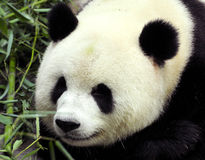 Panda. Close-up giant panda in national park photo stock images