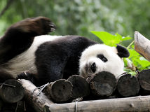 Panda. A beautiful giant panda playing in the park Royalty Free Stock Photo