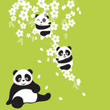 Panda. Cherry blossoms on the play and the cute little asia panda sitting in front of the mother Stock Images