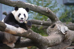 Panda. Giant panda feeding on a tree Stock Photography
