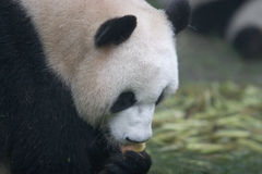 Panda. While an adult panda is eating an apple Royalty Free Stock Image
