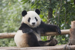 Panda. A panda is sitting on the logs Stock Images
