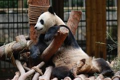 The panda Royalty Free Stock Photo