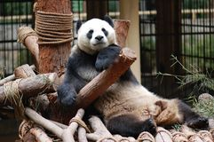 The panda Royalty Free Stock Image