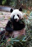 Panda Royalty-vrije Stock Fotografie