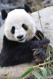 Panda Royalty-vrije Stock Foto's