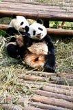 Panda. Two panda is enjoy eating bamboo leaves Stock Images