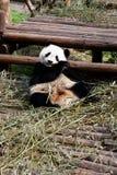 Panda. Giant panda is enjoy eating bamboo leaves Royalty Free Stock Photos