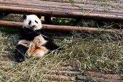 Panda. Giant panda is enjoy eating bamboo leaves Royalty Free Stock Photography