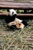 Panda. A young giant panda is eating bamboo, China Royalty Free Stock Image