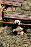 Panda. A young giant panda is eating bamboo, China Royalty Free Stock Images