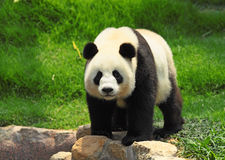 Panda. Famous china animal in zoo Royalty Free Stock Image