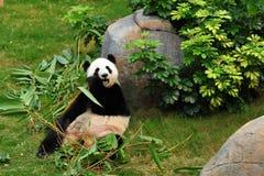 Panda. Eatting in the zoo Stock Photography