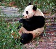Panda Fotografia de Stock Royalty Free