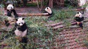 Panda Photo stock