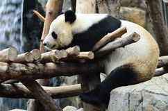 Panda Stock Photography