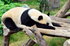 panda Arkivbilder