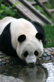 Panda. Shot in Sichuan of China Royalty Free Stock Photo