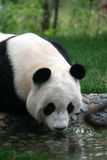 Panda. Shot in Sichuan of China Stock Images