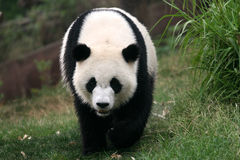 Panda. Shot in Sichuan of China Royalty Free Stock Image