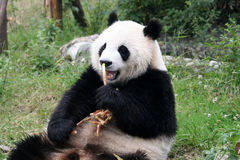 Panda. Shot in Sichuan of China Royalty Free Stock Photography