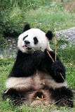Panda. Shot in Sichuan of China Stock Photo
