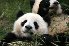 Panda. Shot in Sichuan of China Stock Image