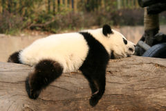 Panda. Shot in Sichuan of China Royalty Free Stock Photos