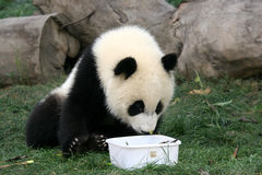 Panda. Giant panda bear being curious Stock Image