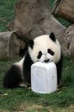 Panda. Shot in Sichuan of China Stock Photos